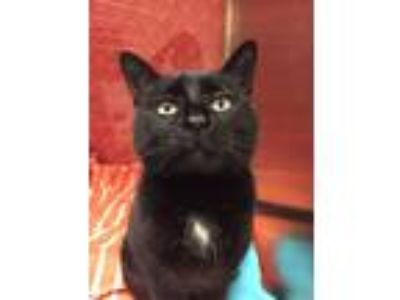 Adopt Sunshine a Black (Mostly) Domestic Shorthair (short coat) cat in