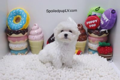 Maltese PUPPY FOR SALE ADN-98725 - Maltese  Casper  Male