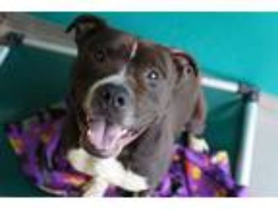 Adopt DEX a Black - with White American Pit Bull Terrier / Mixed dog in Norfolk