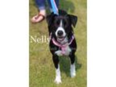 Adopt Nelly a Black Beagle / Terrier (Unknown Type, Small) / Mixed dog in