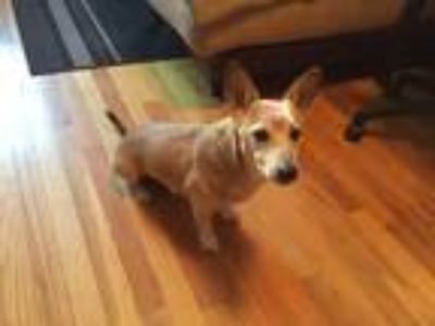 Adopt Toby a Tan/Yellow/Fawn Basenji / Jack Russell Terrier dog in Brooklyn