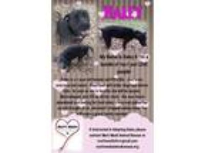 Adopt Haley a Labrador Retriever, Pit Bull Terrier