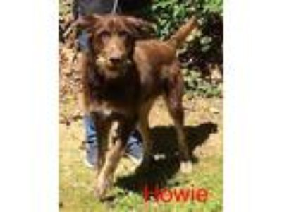 Adopt Howie a German Wirehaired Pointer