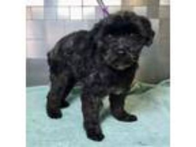 Adopt Eva SDR in TX a Poodle