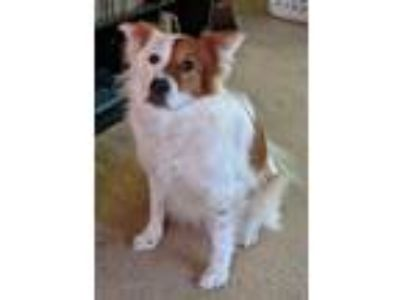 Adopt Pearl a White - with Red, Golden, Orange or Chestnut Border Collie /