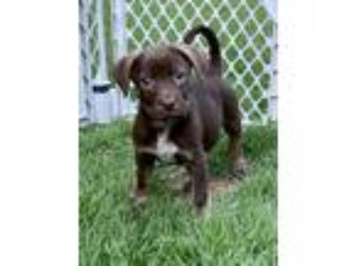Adopt Snickers a Brown/Chocolate Labrador Retriever dog in Milton, GA (25788179)
