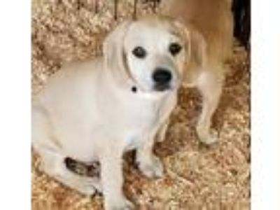 Adopt betsy a Tan/Yellow/Fawn - with White Beagle / Mixed dog in Carson
