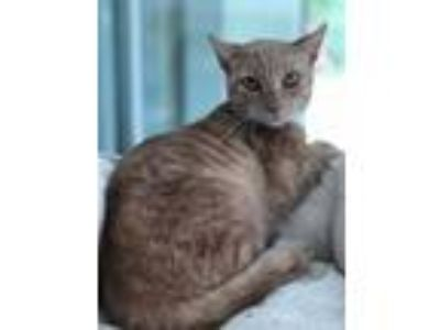 Adopt Finny a Domestic Short Hair, Tabby