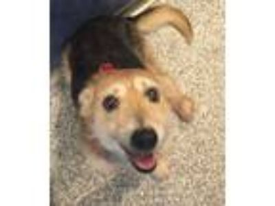 Adopt Trinity a Jack Russell Terrier, Yorkshire Terrier