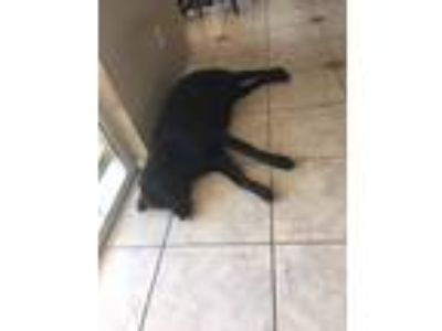 Adopt Leo a Black Labrador Retriever / German Shepherd Dog / Mixed dog in