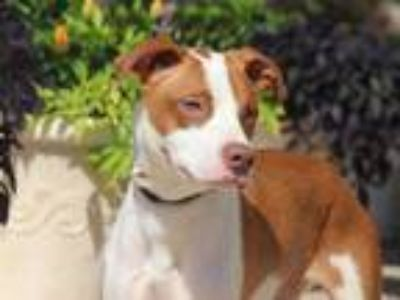 Adopt HALO a Brown/Chocolate - with White American Pit Bull Terrier / Mixed dog