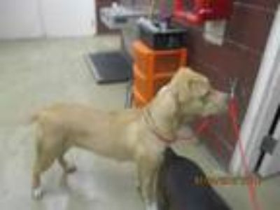 Adopt AVERY a Tan/Yellow/Fawn - with White American Pit Bull Terrier / Mixed dog