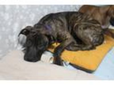 Adopt Frida a Brindle - with White Shepherd (Unknown Type) / Pit Bull Terrier /