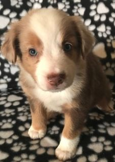 Australian Shepherd PUPPY FOR SALE ADN-96609 - Red Merle Female
