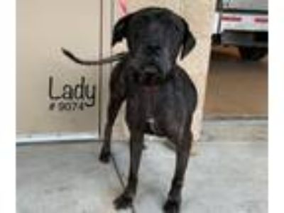 Adopt Lady a Brindle Labrador Retriever dog in Alvin, TX (24773650)