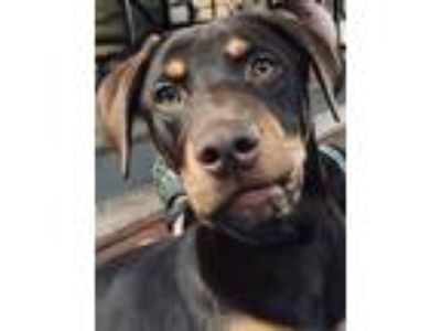 Adopt Red Rover a Doberman Pinscher, Labrador Retriever