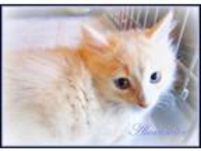 Adopt DLH Buff/White #1 *kitten* No name yet a Domestic Long Hair
