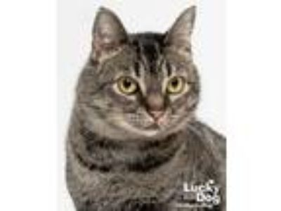 Adopt Fiesta a Brown Tabby Domestic Shorthair / Mixed (short coat) cat in