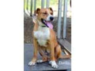 Adopt DORITO a Australian Cattle Dog / Blue Heeler