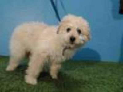 Adopt SHYLA a Golden Retriever, Poodle