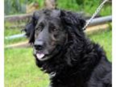 Adopt MOLLY (DW) a Flat-Coated Retriever