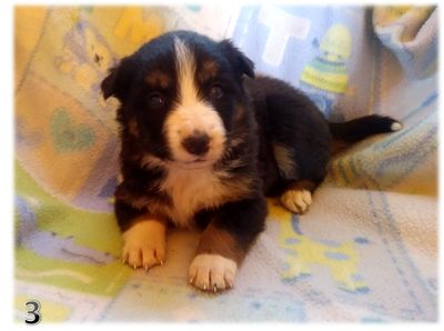Border Collie PUPPY FOR SALE ADN-107965 - BORDER COLLIE CHRISTMAS PUPPIES IN ARIZONA