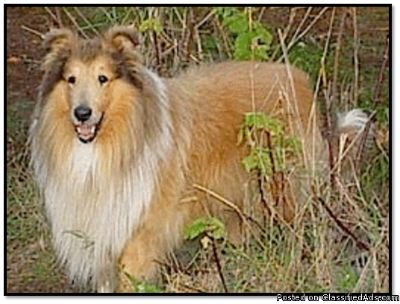 Collie For Sale & Collie Puppies