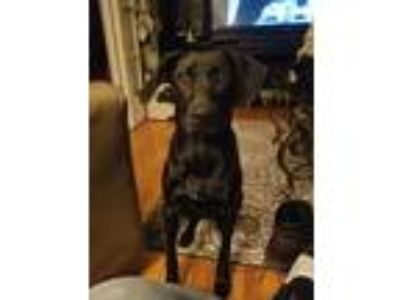Adopt Rylee a Black Labrador Retriever / Hound (Unknown Type) dog in University
