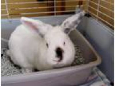Adopt Benson a White American / Mixed (short coat) rabbit in Bay Shore
