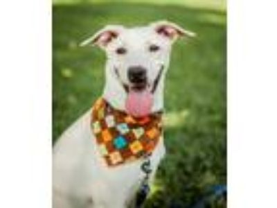 Adopt Noda a White Labrador Retriever / Terrier (Unknown Type
