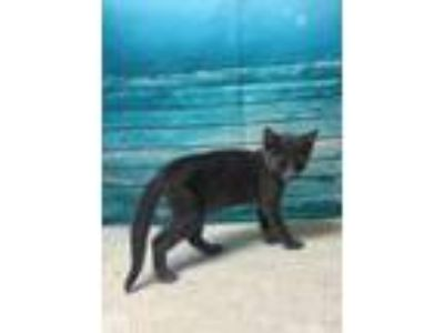 Adopt WHISPER a Russian Blue