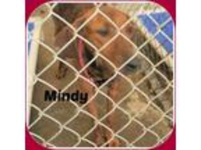 Adopt MINDY a Brindle Hound (Unknown Type) / Mixed dog in Malvern, AR (23247298)