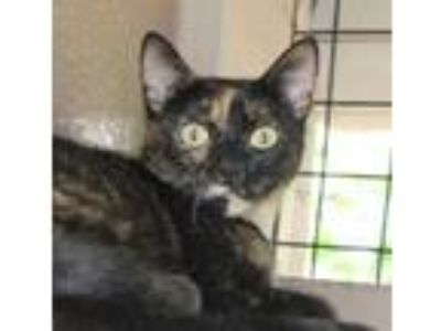 Adopt Ana a Brown or Chocolate Domestic Shorthair / Domestic Shorthair / Mixed