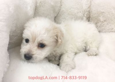 Cacapoo Puppy - Female - Tammy ($1,199)