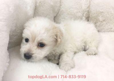 Cacapoo Puppy - Female - Tammy ($1,199)