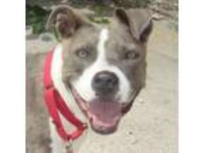 Adopt Sadie a Gray/Blue/Silver/Salt & Pepper Mixed Breed (Large) / Mixed dog in