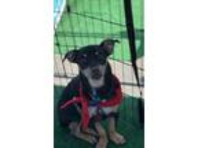 Adopt Pilot a Black - with Tan, Yellow or Fawn Miniature Pinscher / Mixed dog in