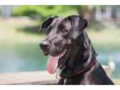 Adopt Piper a Great Dane, Mixed Breed