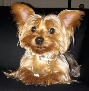 Yorkshire Terrier PUPPY FOR SALE ADN-108381 - Yorkie Stud Needed