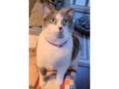 Adopt Sadie a American Shorthair