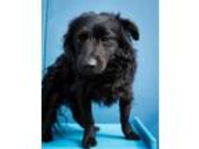 Adopt Spencer a Black Pomeranian / Mixed dog in New Orleans, LA (24319680)
