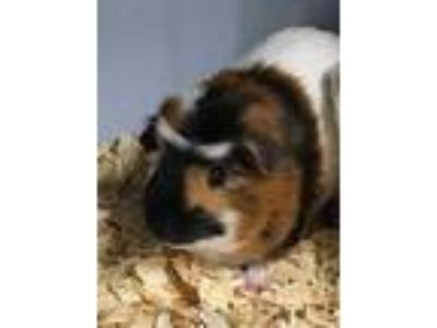 Adopt 42113409 a Red Guinea Pig / Guinea Pig / Mixed small animal in Bryan