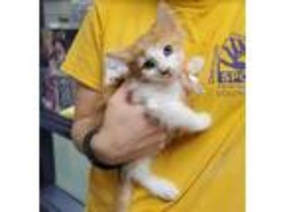 Adopt Albus a Domestic Medium Hair