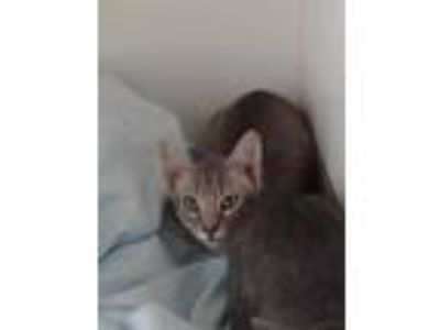 Adopt 41968606 a Gray or Blue Domestic Shorthair / Domestic Shorthair / Mixed