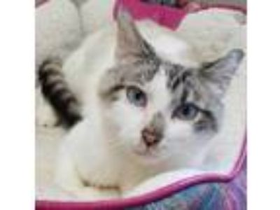 Adopt Jeffrey a Cream or Ivory Siamese / Domestic Shorthair / Mixed cat in