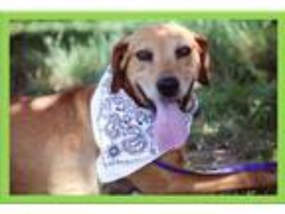 Adopt Nick a Labrador Retriever