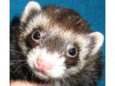 Adopt Totoro and Chi-Chi a Ferret