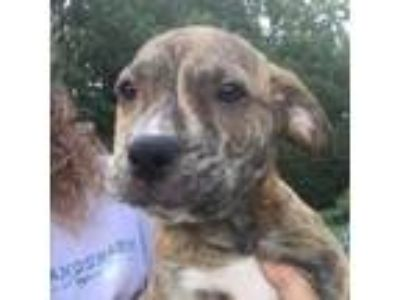 Adopt Tanner a Brown/Chocolate Hound (Unknown Type) / Mixed dog in Atlanta