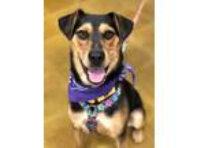 Adopt Lucy a Black - with Tan, Yellow or Fawn German Shepherd Dog / Labrador