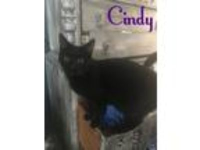 Adopt Cindy a Domestic Short Hair